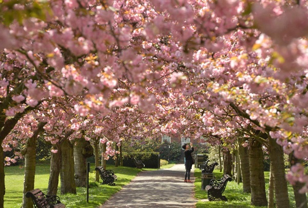 A-visitor-photographs-cherry-blossoms-on-trees-in-Greenwich-Park-london
