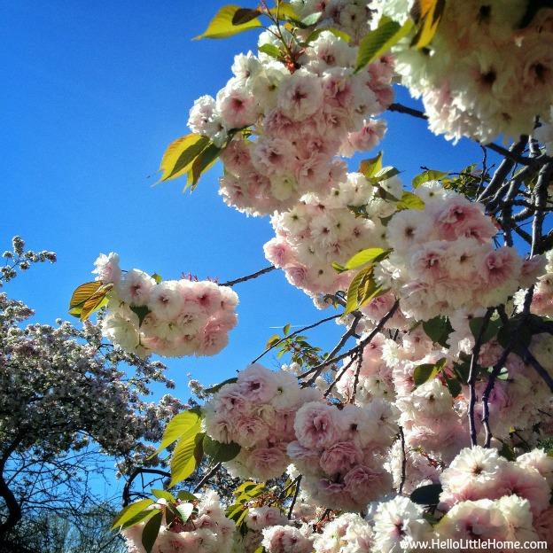 riverside-park-cherry-blossom-tree